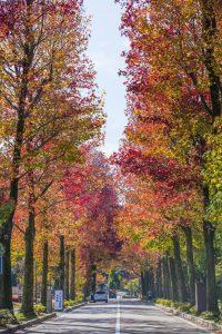 紅葉、アメリカ楓通り、金沢